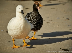kelp-goose-falkland-islands-4996-copyright-photographers-on-safari-com