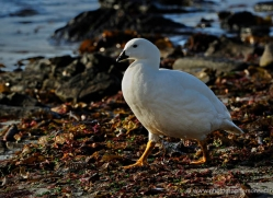 kelp-goose-falkland-islands-4997-copyright-photographers-on-safari-com