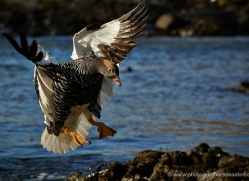 kelp-goose-falkland-islands-4998-copyright-photographers-on-safari-com