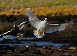 kelp-goose-falkland-islands-5000-copyright-photographers-on-safari-com
