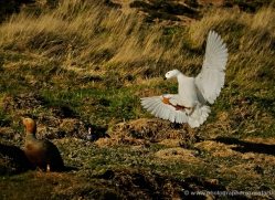 kelp-goose-falkland-islands-5001-copyright-photographers-on-safari-com