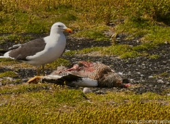 kelp-gull-copyright-photographers-on-safari-com-9176