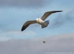 kelp-gull-copyright-photographers-on-safari-com-9177