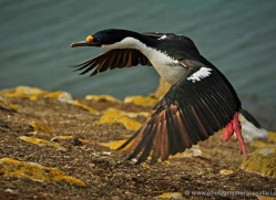 king-cormorant-falkland-islands-4932-copyright-photographers-on-safari-com