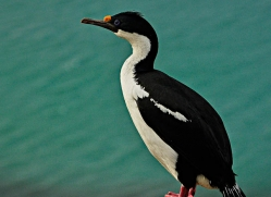 king-cormorant-falkland-islands-4933-copyright-photographers-on-safari-com