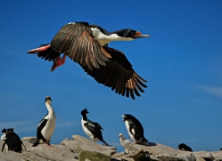 king-cormorant-falkland-islands-4938-copyright-photographers-on-safari-com