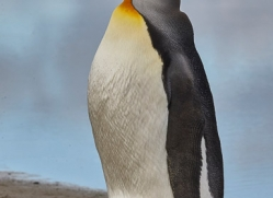 king-penguin-copyright-photographers-on-safari-com-9178