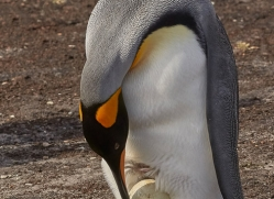 king-penguin-copyright-photographers-on-safari-com-9181