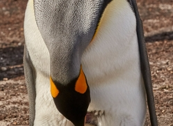 king-penguin-copyright-photographers-on-safari-com-9182