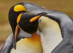 king-penguin-copyright-photographers-on-safari-com-9184