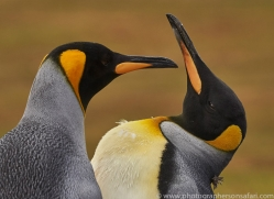 king-penguin-copyright-photographers-on-safari-com-9185