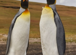 king-penguin-copyright-photographers-on-safari-com-9186