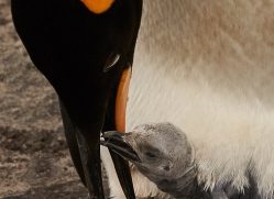 king-penguin-copyright-photographers-on-safari-com-9189
