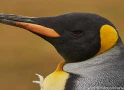 king-penguin-copyright-photographers-on-safari-com-9190