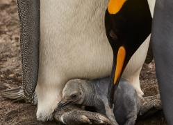 king-penguin-copyright-photographers-on-safari-com-9193