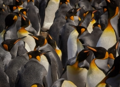 king-penguin-copyright-photographers-on-safari-com-9196