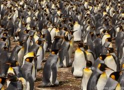 king-penguin-copyright-photographers-on-safari-com-9197