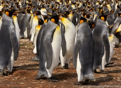 king-penguin-copyright-photographers-on-safari-com-9198