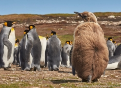 king-penguin-copyright-photographers-on-safari-com-9199