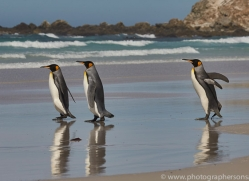 king-penguin-copyright-photographers-on-safari-com-9201