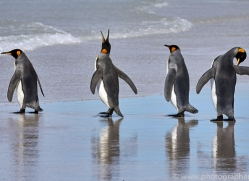 king-penguin-copyright-photographers-on-safari-com-9202