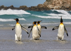 king-penguin-copyright-photographers-on-safari-com-9203