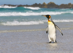 king-penguin-copyright-photographers-on-safari-com-9204