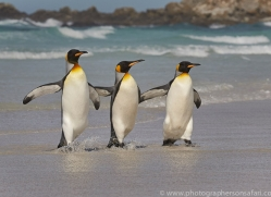 king-penguin-copyright-photographers-on-safari-com-9205
