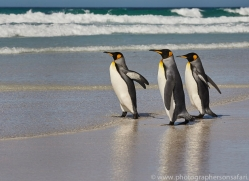 king-penguin-copyright-photographers-on-safari-com-9206