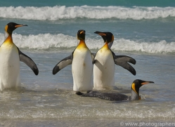 king-penguin-copyright-photographers-on-safari-com-9207