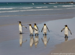 king-penguin-copyright-photographers-on-safari-com-9208