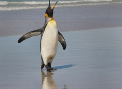 king-penguin-copyright-photographers-on-safari-com-9210