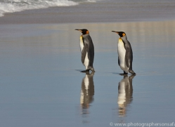king-penguin-copyright-photographers-on-safari-com-9212