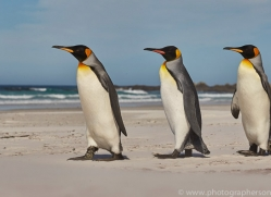 king-penguin-copyright-photographers-on-safari-com-9213