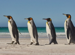 king-penguin-copyright-photographers-on-safari-com-9214