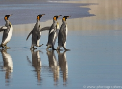 king-penguin-copyright-photographers-on-safari-com-9215