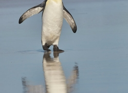 king-penguin-copyright-photographers-on-safari-com-9216