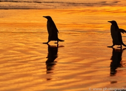 king-penguin-copyright-photographers-on-safari-com-9221