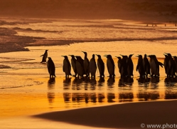 king-penguin-copyright-photographers-on-safari-com-9224