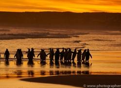 king-penguin-copyright-photographers-on-safari-com-9225