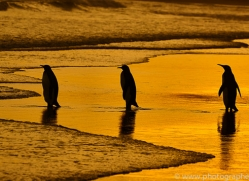 king-penguin-copyright-photographers-on-safari-com-9228