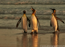 king-penguin-copyright-photographers-on-safari-com-9231