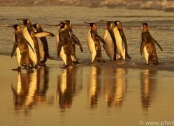 king-penguin-copyright-photographers-on-safari-com-9232