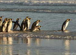 king-penguin-copyright-photographers-on-safari-com-9233