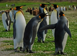 king-penguin-falkland-islands-4832-copyright-photographers-on-safari-com