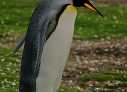 king-penguin-falkland-islands-4833-copyright-photographers-on-safari-com