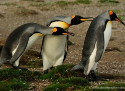 king-penguin-falkland-islands-4834-copyright-photographers-on-safari-com