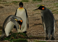 king-penguin-falkland-islands-4835-copyright-photographers-on-safari-com