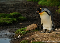 king-penguin-falkland-islands-4837-copyright-photographers-on-safari-com