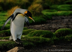 king-penguin-falkland-islands-4838-copyright-photographers-on-safari-com